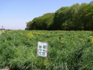菜の花畑 全景