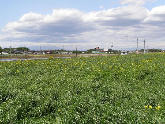 今日の菜の花畑