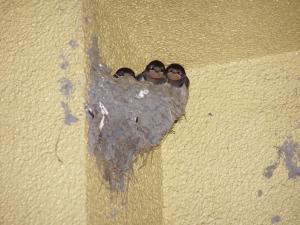 三羽のツバメ